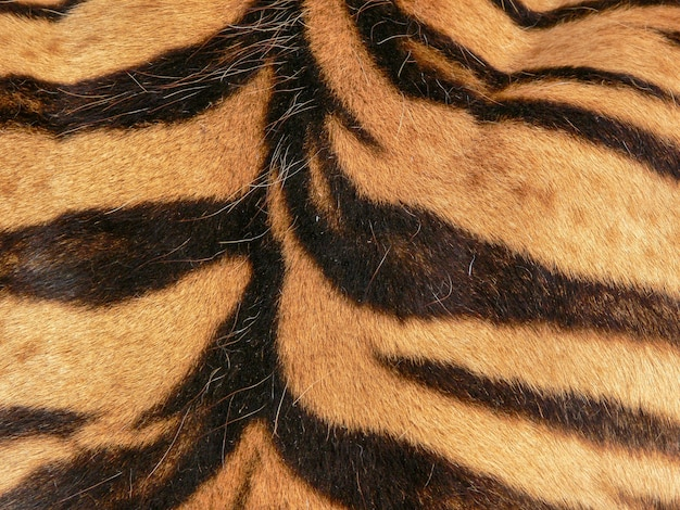Close up of the back of a tiger