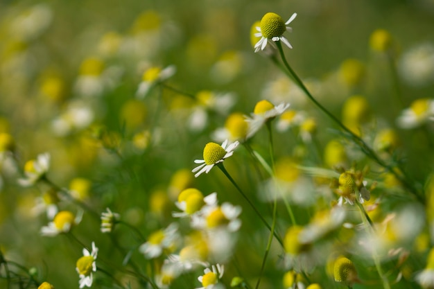 Close up background of chamomile flowers