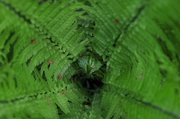 Close up background of fresh spring green fern leaves, frond inside, high angle view