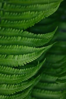 Close up background of fresh spring green fern leaves, high angle view