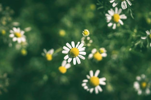 カモミールの花の背景をクローズアップ。ソフトフォーカス