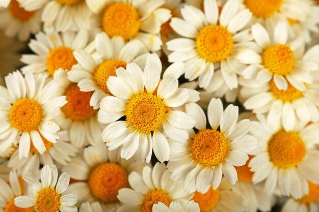 신선한 흰색 카모마일 데이지 꽃의 배경, 높은 평면도, 바로 위를 닫습니다.