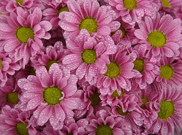비 후 물 방울과 신선한 분홍색 국화 또는 마가렛 꽃의 배경 무늬를 닫습니다.