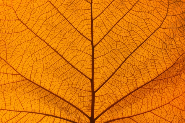 バックライト付きオレンジ色の秋の葉の静脈の背景のテクスチャを閉じる