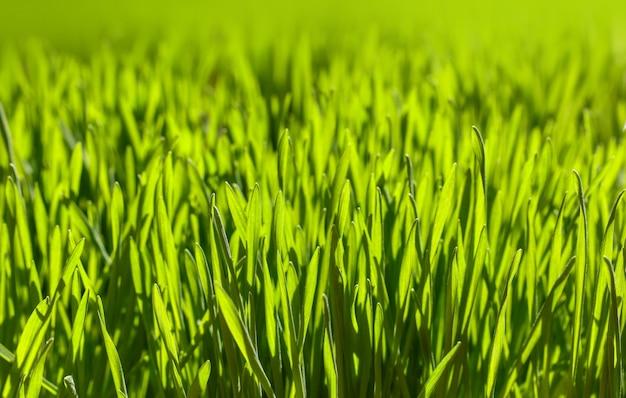Крупным планом с подсветкой свежий зеленый весенний фон травы, низкий угол обзора, выборочный фокус