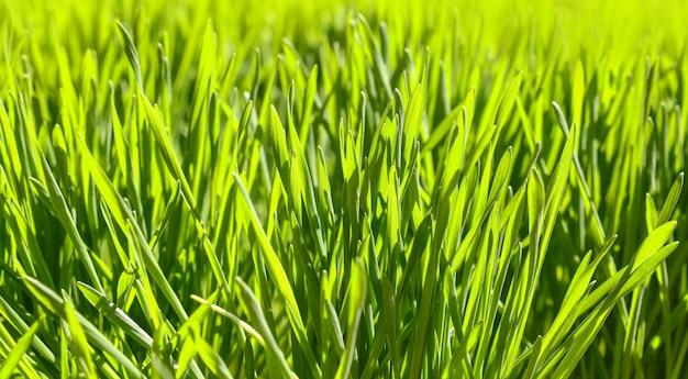 백라이트 신선한 녹색 봄 잔디 배경, 낮은 각도 보기, 선택적 초점을 닫습니다
