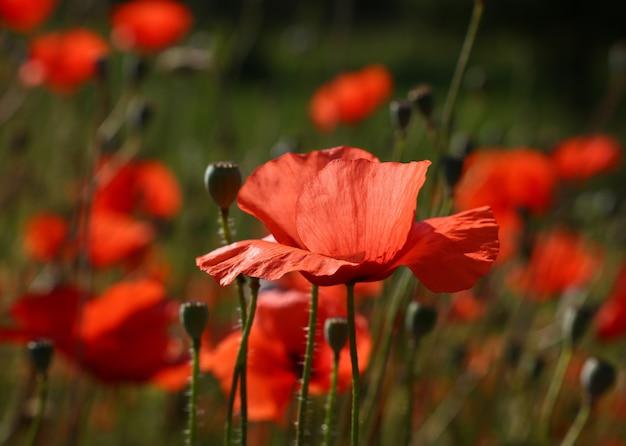 녹색 필드, 낮은 각도 측면 보기에서 백라이트 붉은 양귀비 꽃을 닫습니다