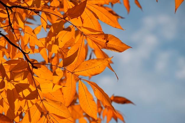 Крупным планом желтые оранжевые осенние листья деревьев с подсветкой на голубое небо, низкий угол обзора