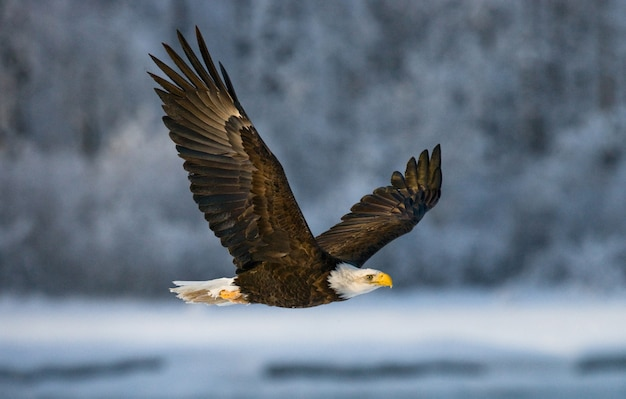 Close-up of bald eagle on a winter day