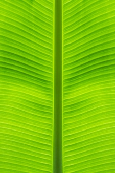 Close-up of banana leaf straight stalk at middle beautiful from green background and natural texture.