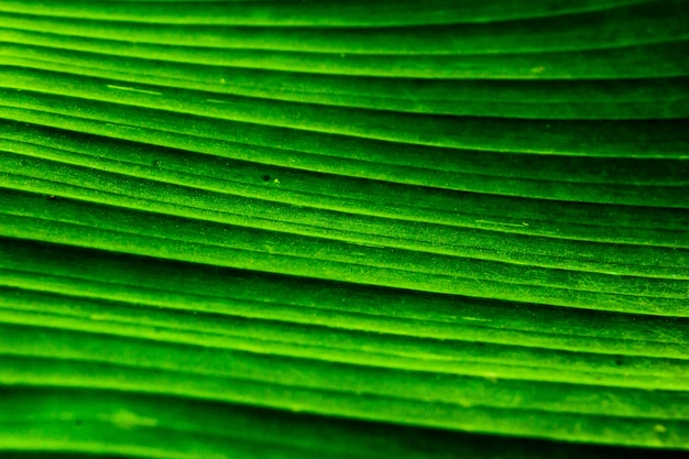 Close up banana leaf