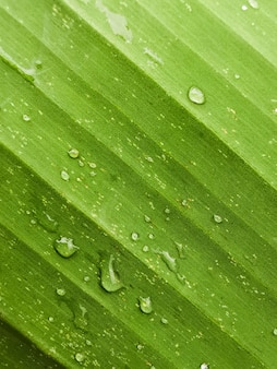 Close-up banana leaves abstract striped natural background