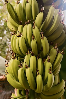 Close up bananas on the tree