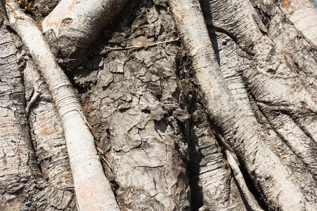 Close-up of banyan tree roots
