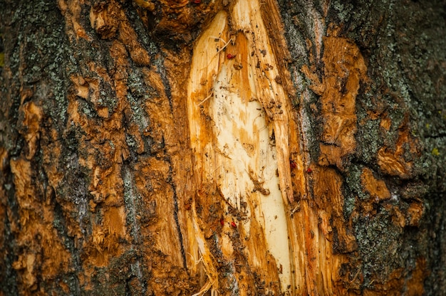 Close up of the bark of a birch tree