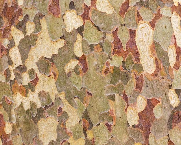 Close up bark of sycamore. natural tree bark texture.