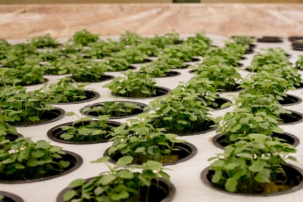 Close-up of basil microgreens. growing basil in hydroponic system sprouts close up view.