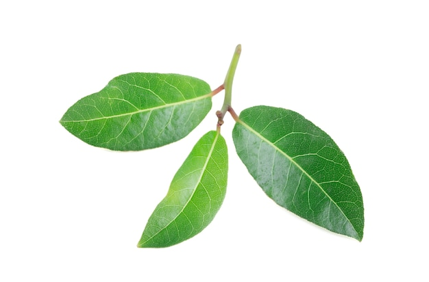 Close up on bay leaves isolated