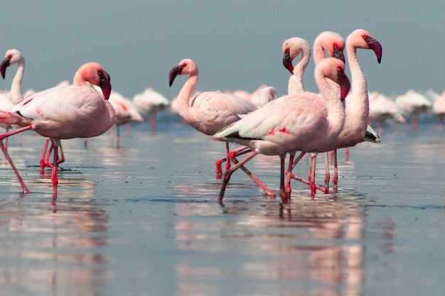 Close up of beautiful african flamingoes that are standing in still water with reflection. namibia
