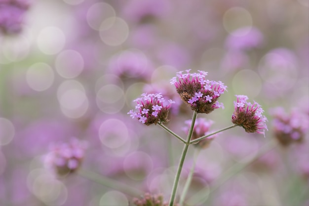 Close up beautiful background of verbana bonariensis purpletop lavender flowers with copy space