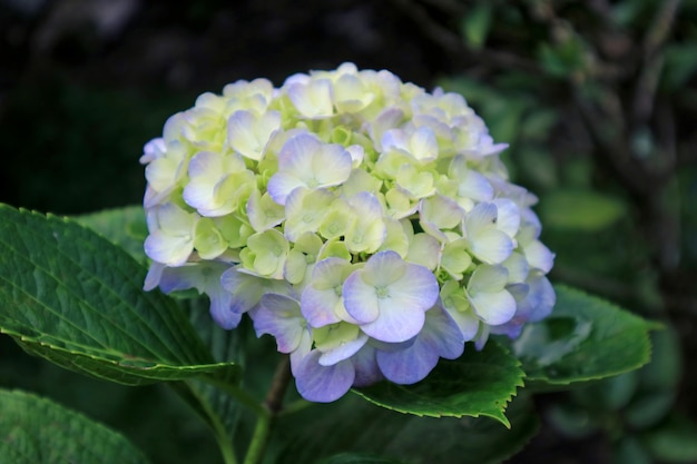 Close up of beautiful blooming pale purple and yellow hydrangea flower
