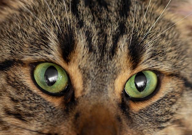 Крупным планом красивая кошка с зелеными глазами