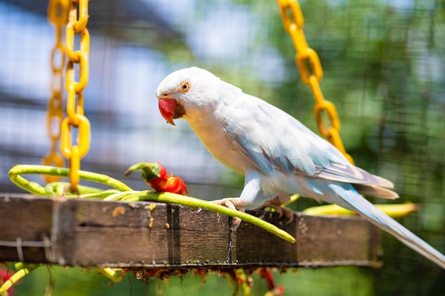 Close-up beautiful colored parrot in the park eating red hot pepper. bird watching