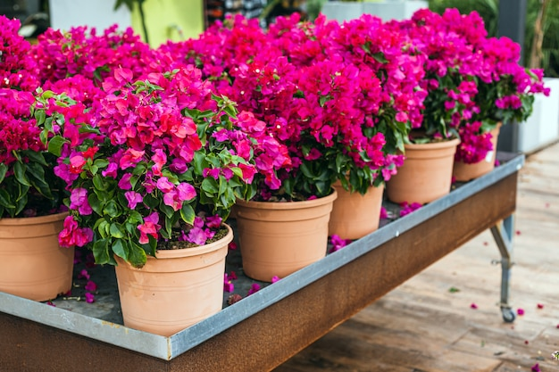 Close up of beautiful colorful pink bougainvillea flowers for sale in a garden center
