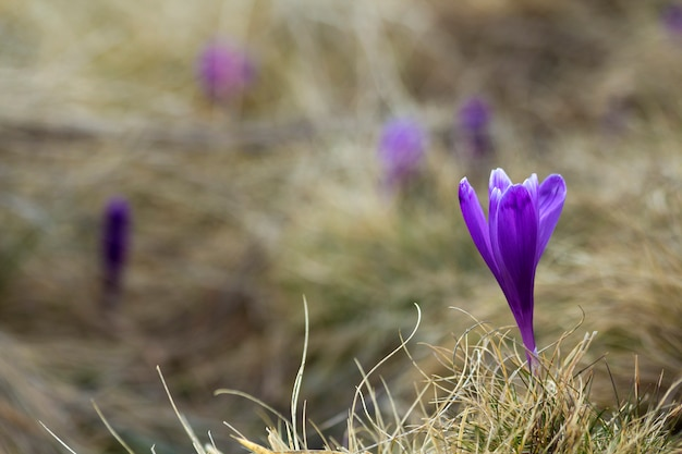 Close-up of beautiful first spring flowers, violet crocuses blooming in carpathian mountains