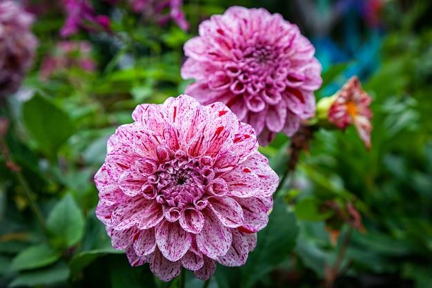 Close-up beautiful fresh pink dahlia flower