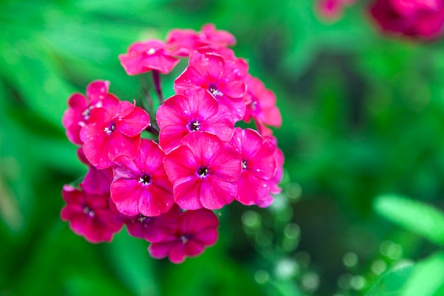 Close-up beautiful fresh pink royal phlox flower on a background of green grass