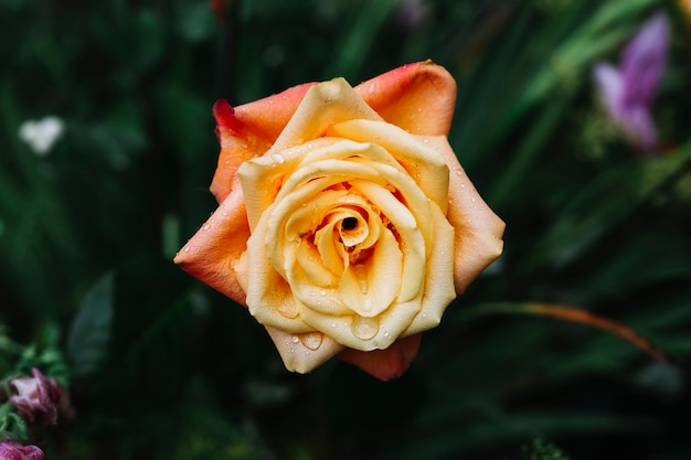 Close-up of beautiful fresh rose with water drops