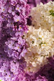 明るい紫と白の花で美しいライラックの背景を閉じる