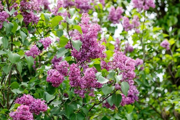 Крупным планом красивые сиреневые цветы с листьями. фото высокого разрешения.