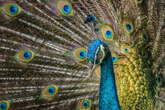 Close up beautiful male indian peafowl displaying
