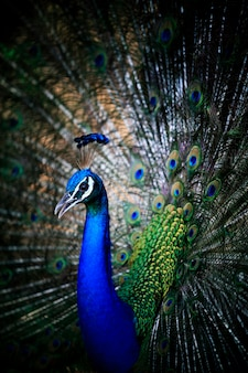 Close up of beautiful male peacock