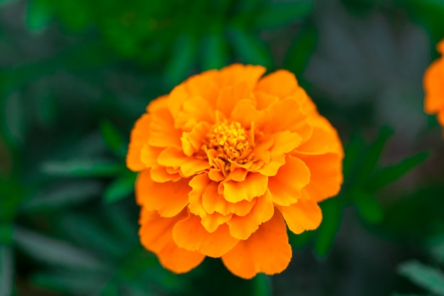 Close up of beautiful marigold flower