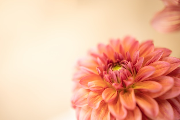 Close up of beautiful orange pink yellow flower with copy space for text.