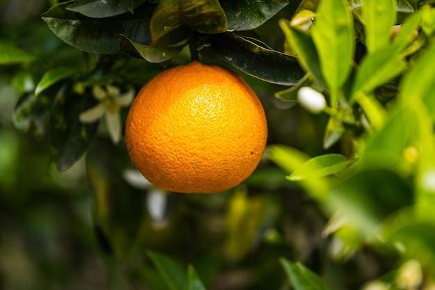 Крупным планом красивое апельсиновое дерево с оранжевым большим круглым апельсином, окруженное множеством ярко-зеленых листьев, мягкий фокус