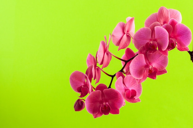 Close up of beautiful  phalaenopsis orchid flowers on bright background