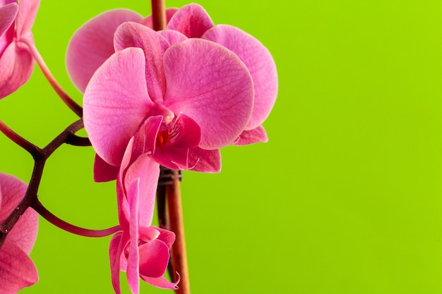 Close up of beautiful phalaenopsis orchid flowers on bright