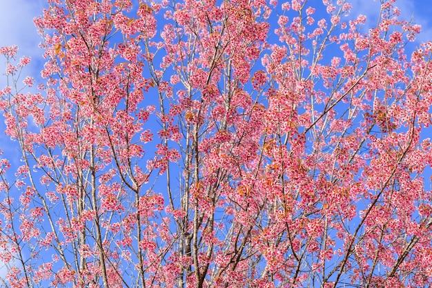 Close up beautiful pink cherry prunus cerasoides wild himalayan cherry like sakusa flower blooming at north thailand , chiang mai ,thailand.