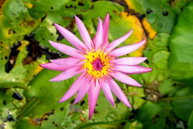 Close up beautiful pink lotus lotus leaf background