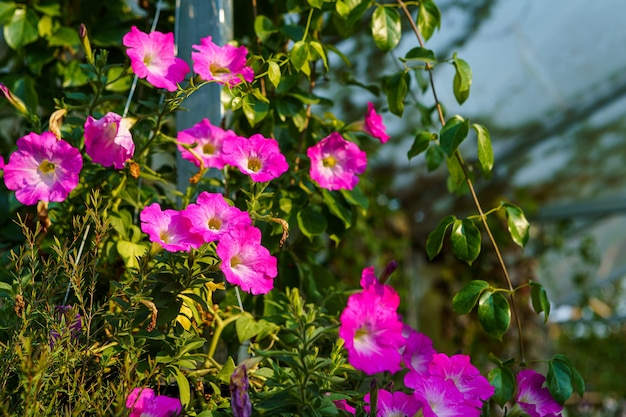 Close up of beautiful pink petunia flowers in a pot in the garden with  sunlight.
