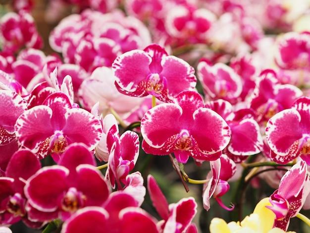 농장의 나뭇가지에 꽃이 핀 아름다운 분홍색 호접란을 닫으세요. 스파와 봄 날 배경입니다.