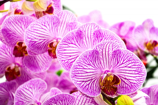 Close up of beautiful purple orchids on white