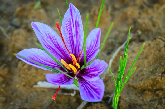 Close up of beautiful purple saffron flower in a field during flowering at harvest time.