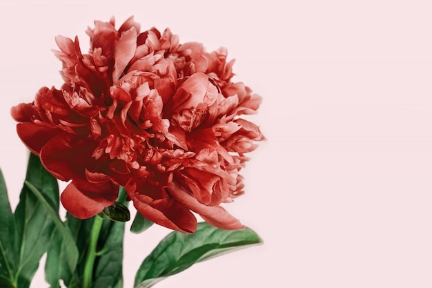 Close up of beautiful red peony flower on pink
