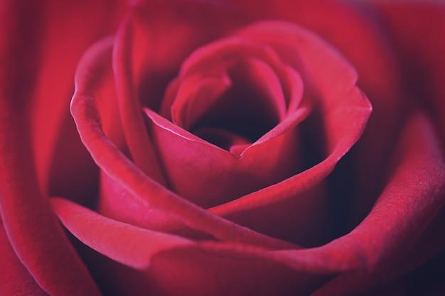 Close up of beautiful red rose petals