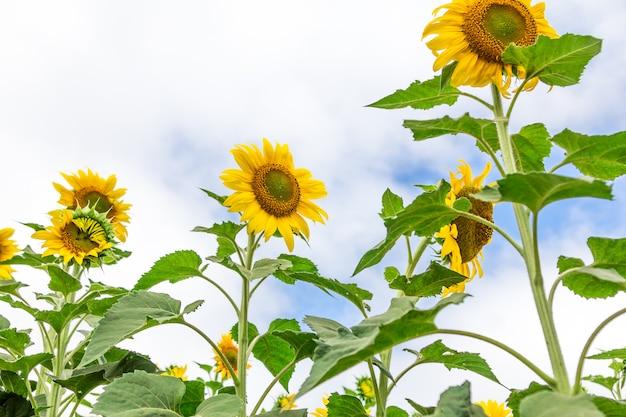 Close-up of beautiful sun flower